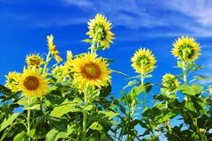 Sonnenblumen gegen blauen Himmel mit Wolken Lizenzfreie Stockfotografie