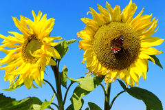 Sonnenblumen gegen den blauen Himmel und den Schmetterling Lizenzfreie Stockfotos