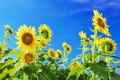 Sonnenblumen gegen Hintergrund des blauen Himmels Lizenzfreie Stockfotografie