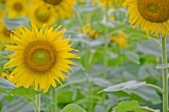 Sonnenblumen gepflanzt in den schönen Reihen Lizenzfreie Stockfotografie