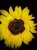 Sonnenblumen-Glück des Lebens stockfoto