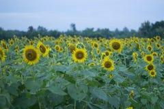 Sonnenblumen-Hintergründe Lizenzfreie Stockfotos