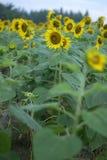 Sonnenblumen-Hintergründe Lizenzfreies Stockfoto