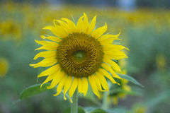 Sonnenblumen-Hintergründe Stockbilder