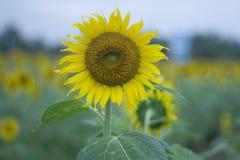 Sonnenblumen-Hintergründe Stockfotos