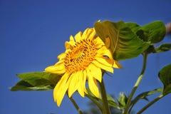 Sonnenblumen-Hintergrund-blauer Himmel - oder Sonnenblumen-Blüte stockbild