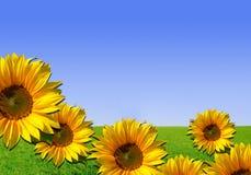 Sonnenblumen - Hintergrund mit Gras und Himmel Stockfotografie