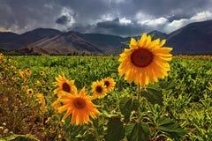 Sonnenblumen hintergrundbeleuchtet durch Sonnenschein auf dem Gebiet an einem bewölkten Tag lizenzfreies stockfoto