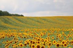 Sonnenblumen im August Stockfoto