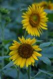 Sonnenblumen im Garten Stockbilder