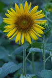 Sonnenblumen im Garten Lizenzfreies Stockfoto