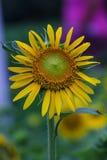 Sonnenblumen im Garten Lizenzfreies Stockbild