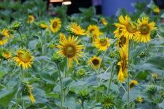 Sonnenblumen im Garten Lizenzfreie Stockbilder