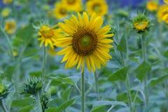 Sonnenblumen im Garten Stockbild