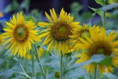 Sonnenblumen im Garten Stockfoto