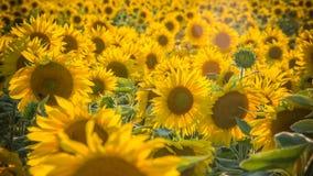 Sonnenblumen im Sommer lizenzfreies stockbild