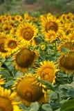 Sonnenblumen im Sonnenuntergang Stockbilder
