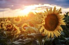 Sonnenblumen im Sonnenuntergang Lizenzfreie Stockbilder