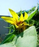 Sonnenblumen-Knospe Stockfotos