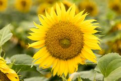 Sonnenblumen-Kopf in der Blüte Stockfoto