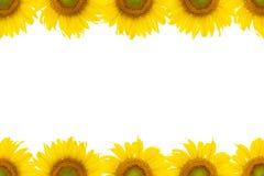 Sonnenblumen kopieren im Spitzen- und Unterseitenrahmen auf Weiß Lizenzfreie Stockbilder