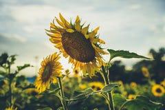 Sonnenblumen kurz vor Sonnenuntergang Lizenzfreie Stockfotos