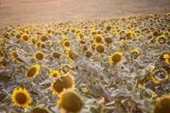 Sonnenblumen am La Zarzuela bei Sonnenuntergang stockbild
