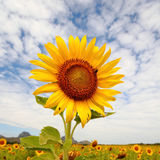 Sonnenblumen in Lopburi, Thailand Stockbild
