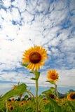 Sonnenblumen in Lopburi, Thailand Stockfotografie