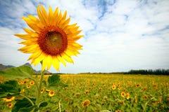Sonnenblumen in Lopburi, Thailand Stockfotos
