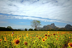 Sonnenblumen in Lopburi, Thailand Lizenzfreie Stockfotografie