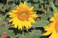 Sonnenblumen masern und Hintergrund Sonnenblumenfeldhintergrund Makroansicht der Sonnenblume in der Blüte Natürlicher Blumenhinte Lizenzfreies Stockfoto