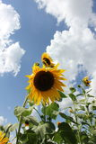 Sonnenblumen mit blauem Himmel Lizenzfreie Stockbilder