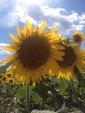Sonnenblumen mit blauem Himmel und Wolken Stockfotografie