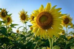 Sonnenblumen morgens Stockfotografie