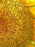 Sonnenblumen-Nahaufnahme Stockfotografie