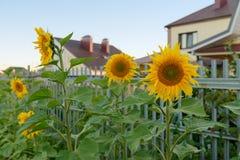 Sonnenblumen nahe dem Zaun Stockbilder