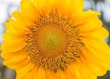 Sonnenblumen- oder Helianthus- Annuusfeld lizenzfreie stockfotos