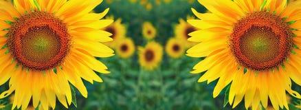 Sonnenblumen paaren auf dem Gebiet Stockfoto