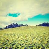 Sonnenblumen-Plantage Lizenzfreie Stockbilder