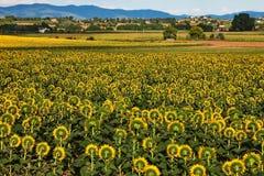 Sonnenblumen Plantage, Toskana. Stockbild