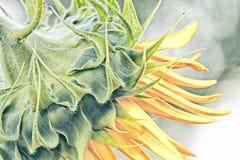 Sonnenblumen-Profil Lizenzfreies Stockbild