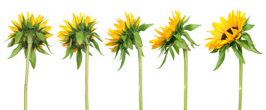Sonnenblumen - rückseitige Ansicht Lizenzfreies Stockbild