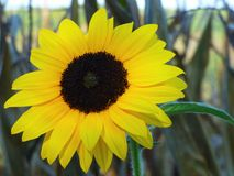 Sonnenblumen-Schönheit Stockfoto