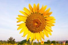 Sonnenblumen schließen oben Lizenzfreie Stockfotografie