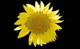 Sonnenblumen-schwarzer Hintergrund Lizenzfreie Stockfotos