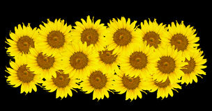 Sonnenblumen, Sonnenblumenblühen Stockfoto