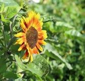 Sonnenblumen-Sonnendurchbruch stockfotografie