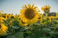 Sonnenblumen am Sonnenuntergang Lizenzfreies Stockfoto
