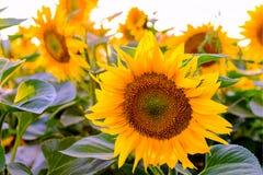 Sonnenblumen am Sonnenuntergang Lizenzfreie Stockbilder